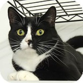 Domestic Shorthair Cat for adoption in Pineville, North Carolina - Anara