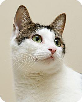 Domestic Shorthair Cat for adoption in Bellingham, Washington - Chloe
