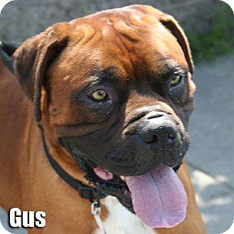 Boxer Dog for adoption in Encino, California - Gus