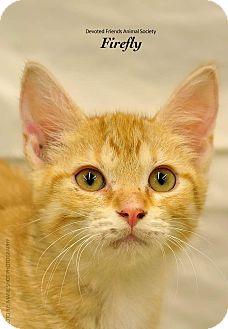 Domestic Shorthair Kitten for adoption in Ortonville, Michigan - Firefly
