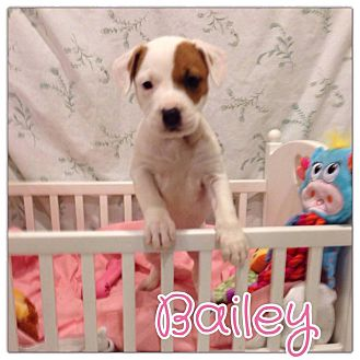 Jack Russell Terrier Mix Puppy for adoption in Valley Stream, New York - Bailey