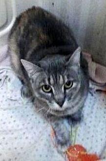 Manx Cat for adoption in Porter, Texas - Pepper