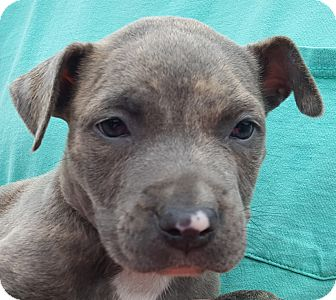 Pit Bull Terrier Mix Puppy for adoption in Colonial Heights, Virginia - Piglet