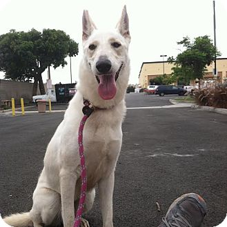 German Shepherd Dog Mix Dog for adoption in Westminster, California - Salt