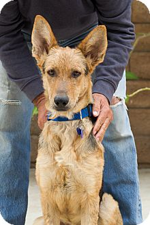 German Shepherd Dog Dog for adoption in Thousand Oaks, California - Hermes von Herten