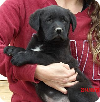 Labrador Retriever/Border Collie Mix Puppy for adoption in Niagara Falls, New York - Dynamo (8 lb) Video!