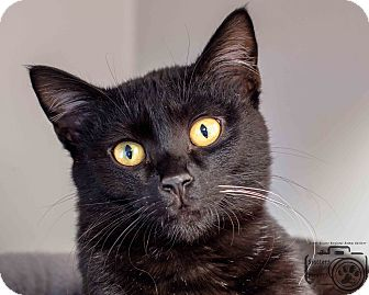 Domestic Shorthair Cat for adoption in Divide, Colorado - Whiskers