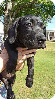 Basset Hound/Labrador Retriever Mix Puppy for adoption in Southbury, Connecticut - Emma