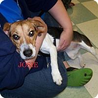 Adopt A Pet :: JOSIE - Ventnor City, NJ