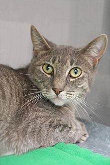 Domestic Shorthair Cat for adoption in Alameda, California - Carrie