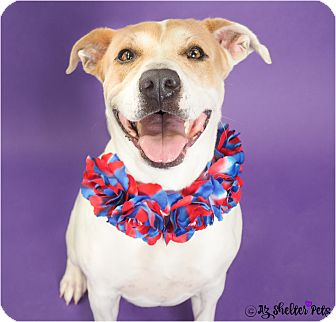American Pit Bull Terrier/Labrador Retriever Mix Dog for adoption in Phoenix, Arizona - Wanda