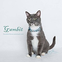 Russian Blue Cat for adoption in Los Angeles, California - Gambit