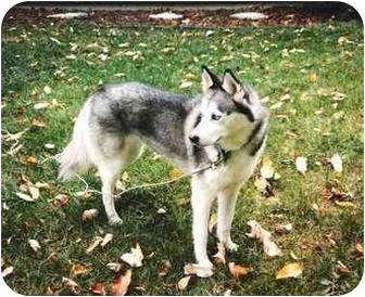 Siberian Husky Mix Dog for adoption in Sheboygan, Wisconsin - Nanook