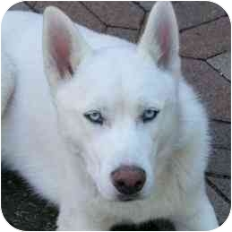 Siberian Husky Dog for adoption in Plano, Texas - Jefferson Pagoda