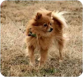 Pomeranian Dog for adoption in Portland, Maine - Bella