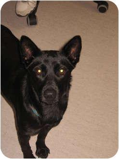 Basenji Mix Dog for adoption in Vancouver, British Columbia - Sam - Pending