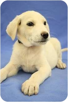 Australian Shepherd/Border Collie Mix Puppy for adoption in Broomfield, Colorado - Luigi