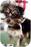 Yorkie, Yorkshire Terrier/Terrier (Unknown Type, Small) Mix Dog for adoption in Los Angeles, California - Crouton