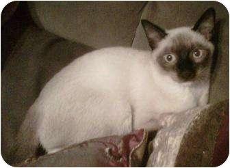Siamese Kitten for adoption in Franklin, North Carolina - Spencer