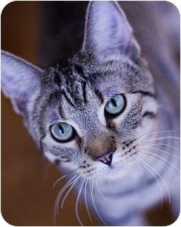 Domestic Shorthair Kitten for adoption in Chicago, Illinois - Pogo