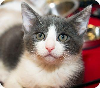 Domestic Shorthair Kitten for adoption in Irvine, California - Mr. Rogers