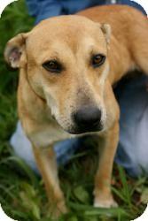 Hound (Unknown Type)/Terrier (Unknown Type, Medium) Mix Dog for adoption in Conway, Arkansas - Huxley