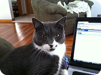 Domestic Shorthair Cat for adoption in Medford, Massachusetts - Champ