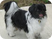 Shih Tzu/Papillon Mix Dog for adoption in Shawnee Mission, Kansas - Tessa Mae
