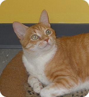"Domestic Shorthair Cat for adoption in Scottsburg, Indiana - "" Bernie """