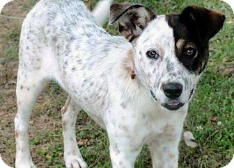 Australian Cattle Dog Mix Dog for adoption in Salem, New Hampshire - CARMELA