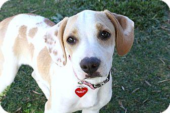Beagle/Boxer Mix Puppy for adoption in Bellflower, California - Mazie