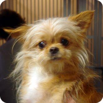 Maltese/Pomeranian Mix Dog for adoption in Manassas, Virginia - Sally