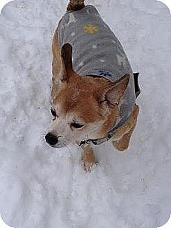 Chihuahua/Jack Russell Terrier Mix Dog for adoption in Virginia Beach, Virginia - Paco