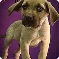 Adopt A Pet :: Bingle - Broomfield, CO