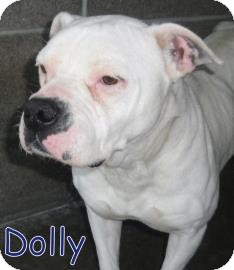 English Bulldog Mix Dog for adoption in Georgetown, South Carolina - Dolly