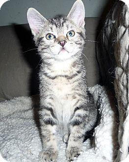 Domestic Shorthair Kitten for adoption in Overland Park, Kansas - Toby