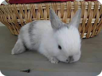 Lop, Holland Mix for adoption in Bonita, California - tiger
