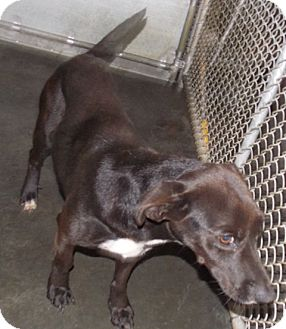 Pit Bull Terrier/Dachshund Mix Dog for adoption in St. Pauls, North Carolina - Thelma