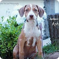 Adopt A Pet :: Aphrodite - Southington, CT