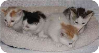Domestic Shorthair Kitten for adoption in Westfield, New York - KITTENS