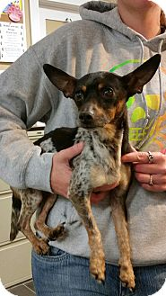 Chihuahua Mix Dog for adoption in Freeport, New York - Waffles