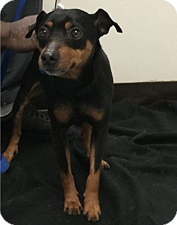Miniature Pinscher Mix Dog for adoption in Newark, New Jersey - Zach