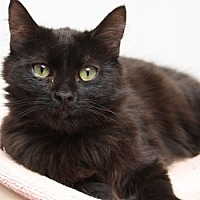 Domestic Longhair Cat for adoption in Dallas, Texas - TRICIA