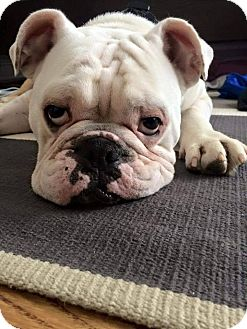 English Bulldog Dog for adoption in Park Ridge, Illinois - Tank