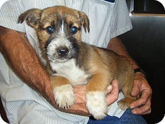 Corgi/Terrier (Unknown Type, Small) Mix Puppy for adoption in Mansfield, Texas - Dakota