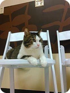 Domestic Shorthair Cat for adoption in Janesville, Wisconsin - Cat Stevens
