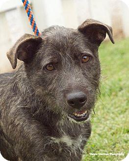 Fox Terrier (Wirehaired)/Basset Hound Mix Dog for adoption in Hamburg, Pennsylvania - Shorty