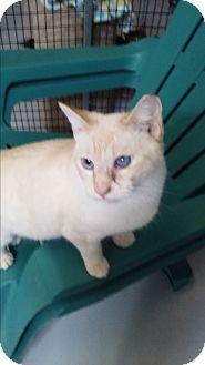 Siamese Cat for adoption in Diamond Springs, California - Frost