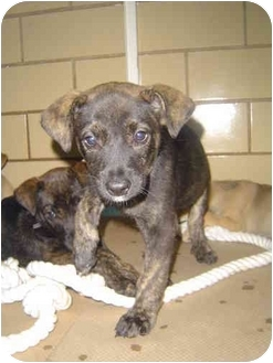 American Pit Bull Terrier/Labrador Retriever Mix Puppy for adoption in Freeport, New York - Rocky
