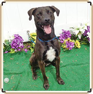 Labrador Retriever Mix Dog for adoption in Marietta, Georgia - TOM TOM (R)